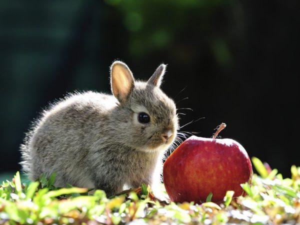 Яблоки в рационе кроликов