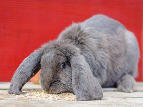 Порода кроликов французский баран