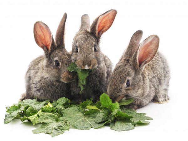 Щавель в рационе кроликов