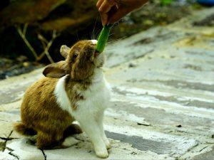 Кормят ли кроликов огурцами