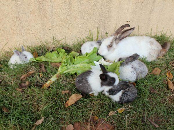 Листья хрена в рационе кроликов