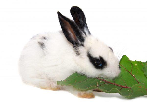 Свекла и её ботва в рационе кроликов