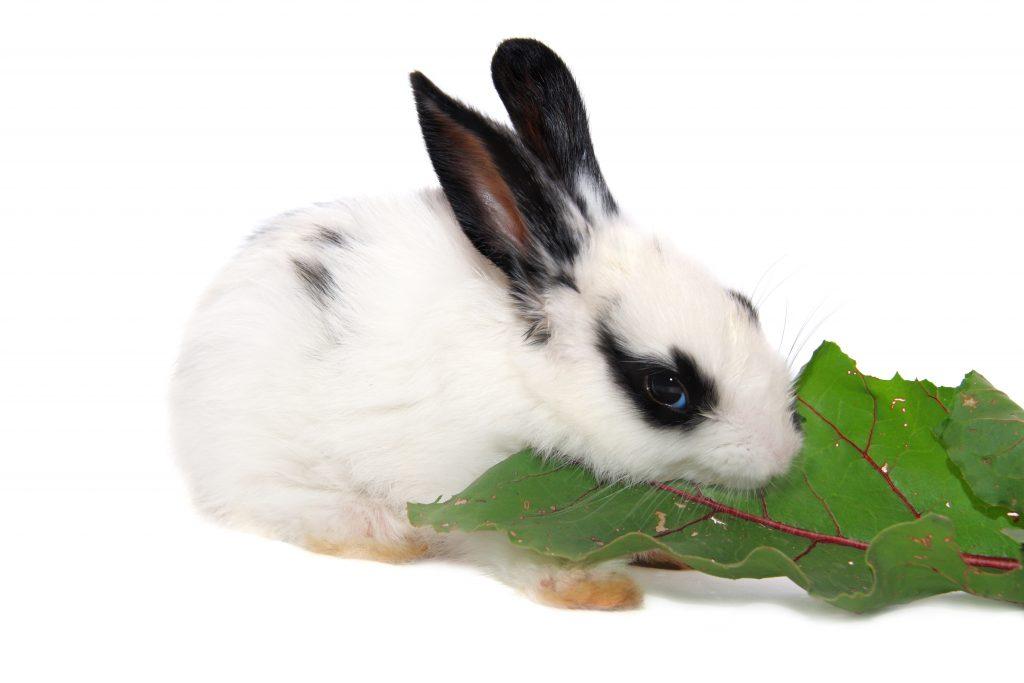 Можно ли давать кроликам сырую свеклу