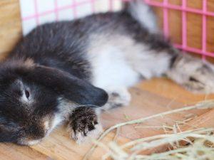Причины кролика голова на бок