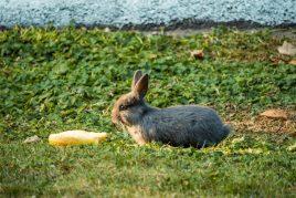 Кабачки в рационе кроликов