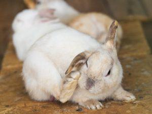 Как вылечить кроликов при ушной чесотке