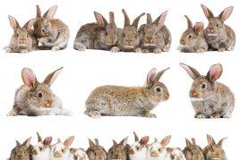 Породы кроликов для домашнего выращивания