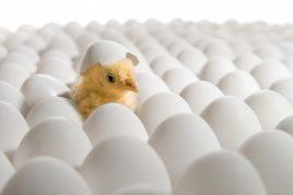 Обзор инкубаторов для вывода цыплят в домашних условиях