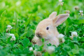 Лебеда в рационе кроликов