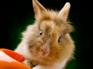 Отличия львиноголового кролика от других пород