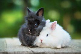 Продолжительность жизни карликовых кроликов