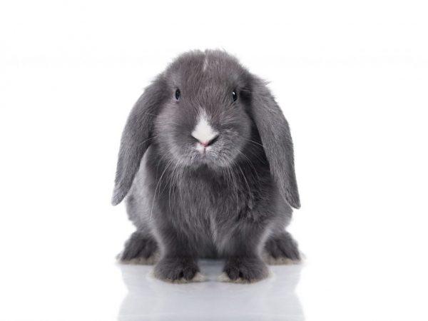 Вислоухих кроликов необходимо оберегать от сквозняков, холода, прямых солнечных лучей, высокой влажности и других негативных факторов