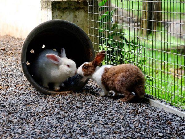 Самца подсаживают к крольчихе и смотрят на поведение самки. Беременные не принимают ухаживания, рычат на самца, бегают за ним по клетке