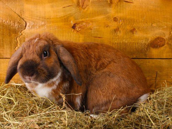 Кролики отличаются массивностью тела