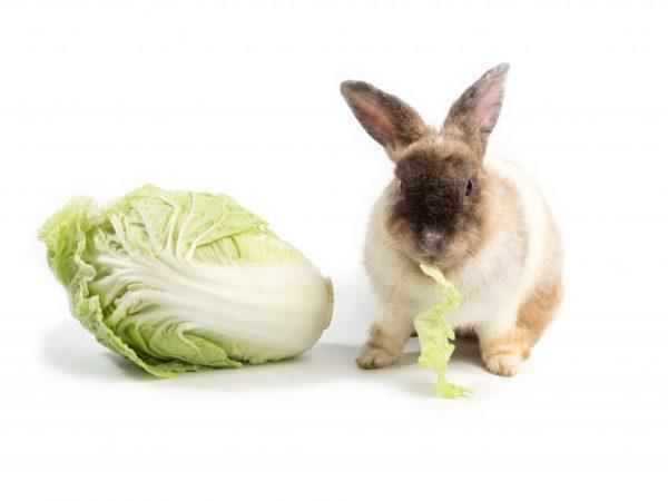 Пекинская капуста в рационе кроликов обогатит их организм массой полезных микроэлементов, необходимых для поддержания иммунитета