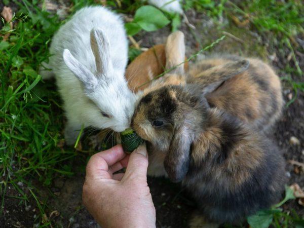 Включать огурцы в рацион кроликов следует постепенно. Обычно этот овощ дают зверькам в обеденное время, предварительно их тщательно промывают и режут на дольки