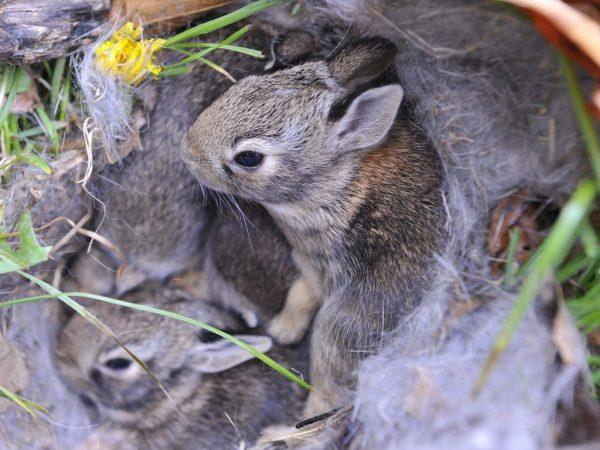 Первый раз крольчата выходят из маточника на 21 день жизни