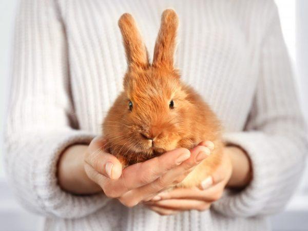 Одна из причин отказа кролика от лотка - он слишком мал для пушистикато он слишком мал для пушистика