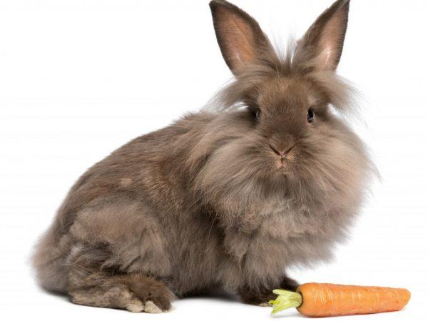 Грива – основное отличие и достоинство породы Львиноголовый кролик
