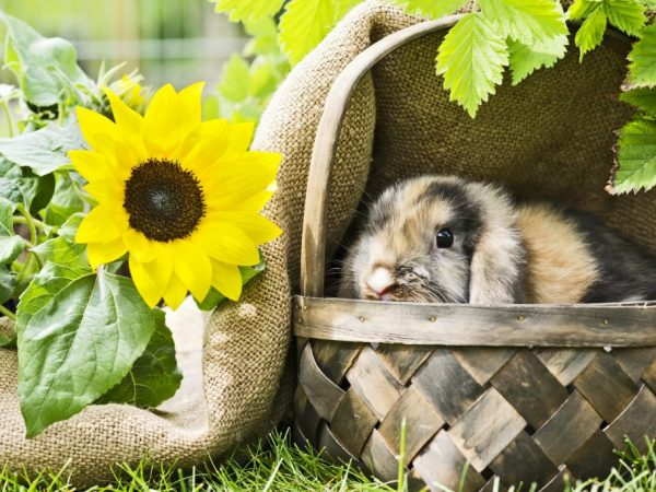 Эти кроли быстро растут, их часто разводят для получения диетического мяса. В 3-месячном возрасте готовы к забою