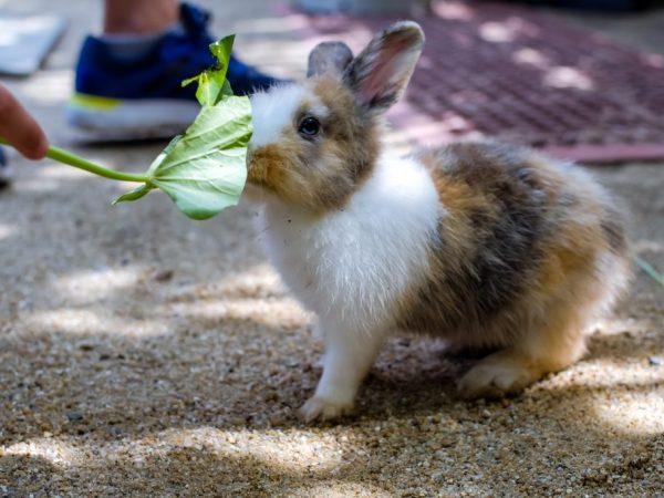Рекомендуют кормить этим растением 2 раза в неделю. Зрелому кролю достаточно будет одного листа