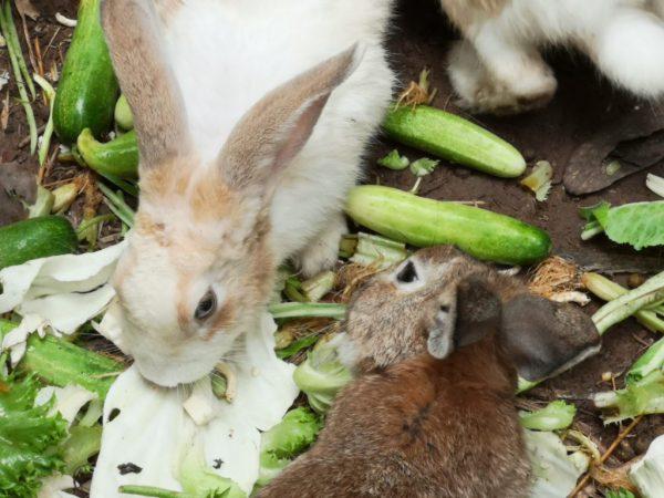 Какие овощи и фрукты можно давать декоративному кролику? Едят ли кролики огурцы и свеклу? Можно ли давать тыкву?