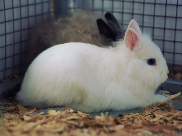Если клетку для кроликов изготавливают из деревянных частей, эти изделия должны быть хорошо отшлифованы, а края оцинкованной сетки плотно прибиты к поверхности
