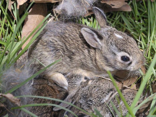 Если в гнезде с крольчатами слишком душно, то клетку нужно притемнить или перенести в открытый хлев (оградив от сквозняков)