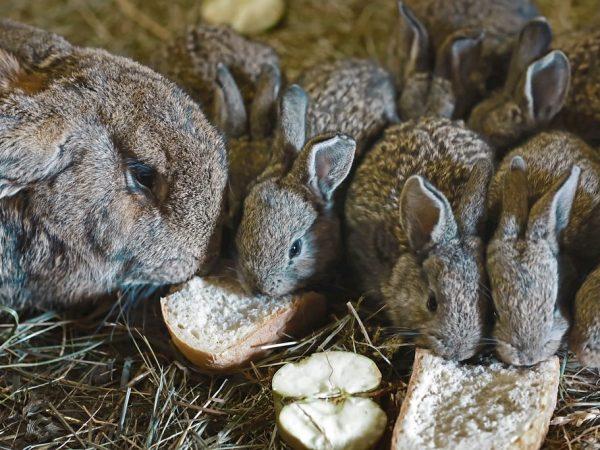 Запрещено давать кроликам свежий хлеб. Он вызывает у кроликов повышенное газообразование
