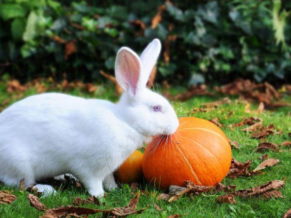 Регулярное скармливание кроликов тыквой, благополучно отразится на их внешнем виде – пушистые создания станут куда более привлекательными