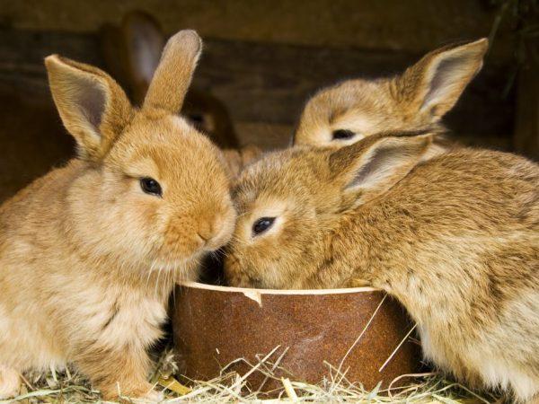 Кролики с удовольствием употребляют веточный корм - это неотъемлемая часть зимнего рациона