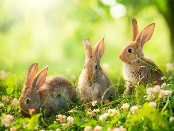 Питаются ушастые в основном растительной пищей – корнями и корой деревьев, листьями и стеблями растений, с удовольствием поедают молодые побеги кустарников