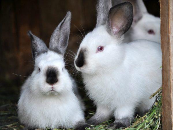 Жильем кроликов Хиплюс может служить металлическая клетка размером 1 м на 40 см. В помещении должна быть установлена вентиляция