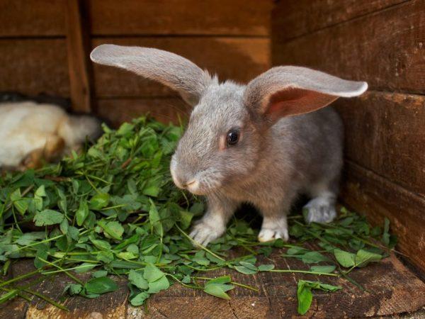 Продолжительность жизни кроликов в разных условиях