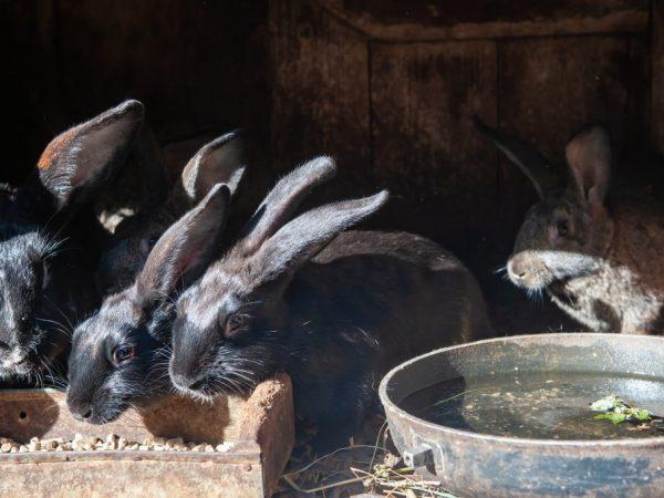 Для получения максимальной прибыли следует разводить кроликов, которые выведены именно для получения мяса