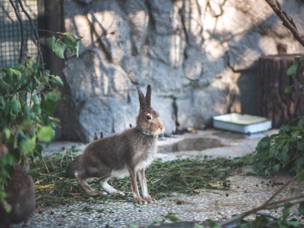 Молодые зайчата нуждаются в тепле, им нужно делать массаж животика, а ваткой, смоченной тёплой водой, протирать под хвостом