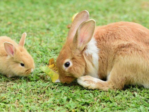 Кролик должны получать только сбалансированные корма, со всеми необходимыми его организму витаминами и микроэлементами