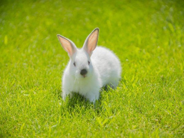 Описание кроликов породы Хиплус