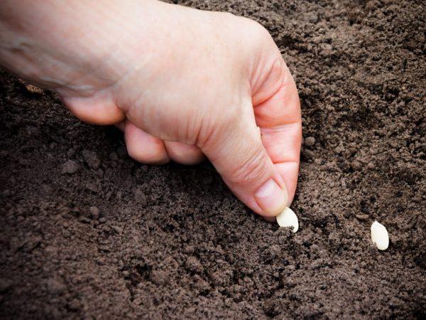 Для посадки подходят только здоровые семена