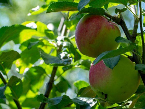 На Урале яблоню необходимо защищать от ветра