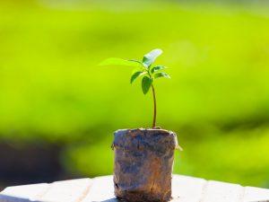 Выращивание яблони Брянское