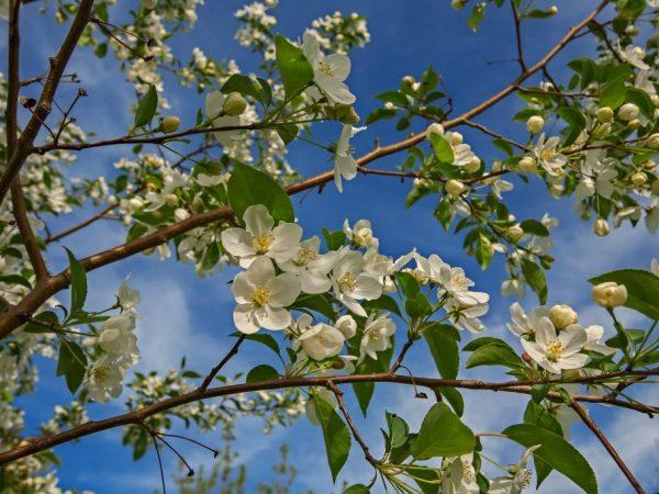 Яблоня цветет и благоухает при правильной посадке