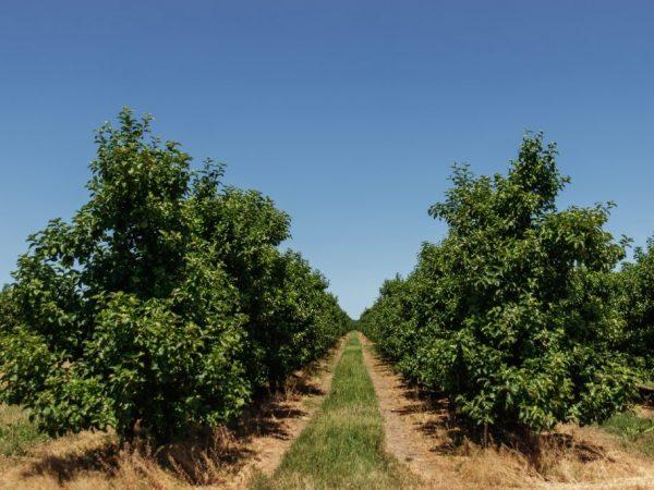 Яблоня плодоносит через 3-4 года