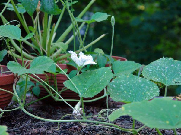 Растение при необходимости можно удобрить