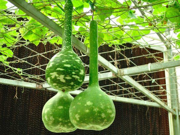 Плоды могут быть необычной формы