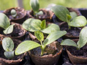 Выращивание кабачка Цукеша