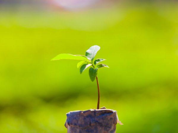Молодой саженец можно высаживать весной