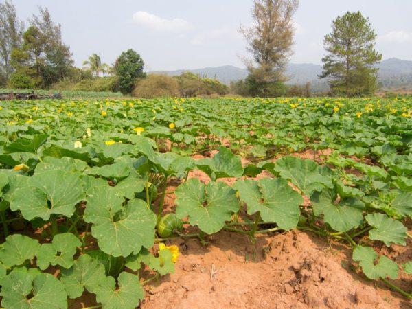 Прищипывание повысит урожайность растений