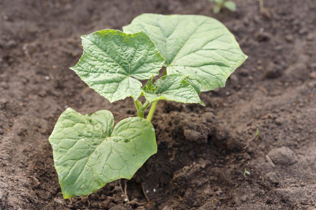 Кабачок Искандер f1 описание и характеристика сорта урожайность с фото