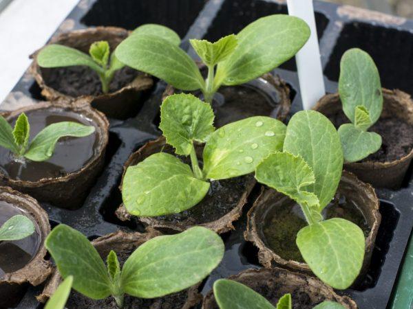 Рассаду можно пересаживать в грунт при наличии трех листьев